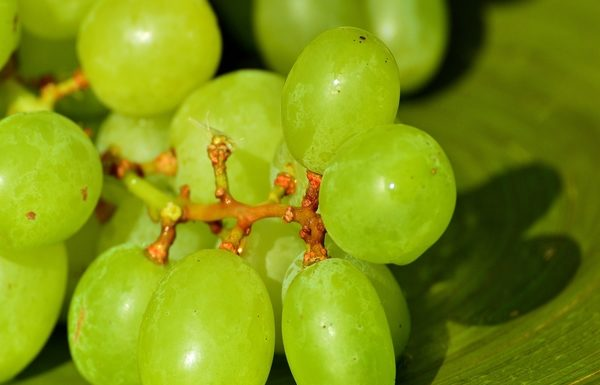 Are green grapes bad for you? Know all about this fruit