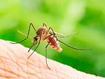 Scientists identify microbe that stops mosquitoes catching or...